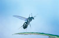 葉から飛び立つクロオオアリのメスの羽アリ