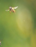 花粉ダンゴをつけて飛ぶミツバチ(セイヨウミツバチ)