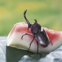 スイカを食べるカブトムシのオス