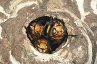 コガタスズメバチ 巣口で警戒