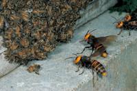 ミツバチ(セイヨウミツバチ) オオスズメバチに襲われ攻撃に備