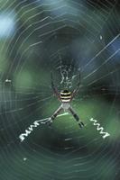 巣上のコガネグモ