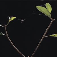 コガネグモの巣作り1 風に糸を流してひっかけ、それを最初の足