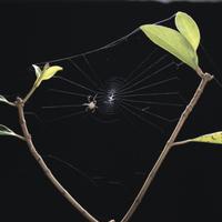 コガネグモの巣作り4 足場糸を張っていく