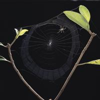 コガネグモの巣作り7 足場糸と縦とをつたって横糸を張る