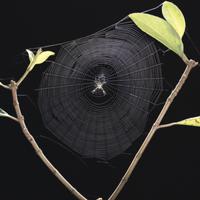 コガネグモの巣作り8 完了