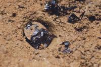 地中から顔を出すハンミョウの幼虫