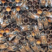 ミツバチ(セイヨウミツバチ) 収穫ダンス