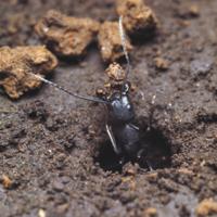 巣作りのために土を運び出すクロオオアリの働きアリ