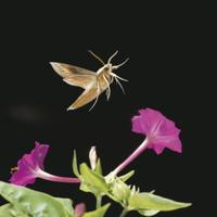 コスズメ オシロイバナの上を飛ぶ