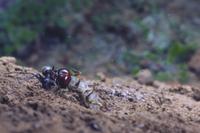 ハンミョウの幼虫、アリ