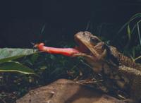 ニホンヒキガエル 捕食