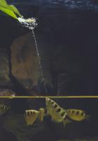 テッポウウオ(アーチャー・フィッシュ) 捕食