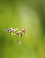 ミツバチ(セイヨウミツバチ) 飛びながら脱糞