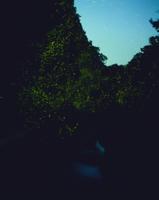 ゲンジボタル 群飛(光跡)