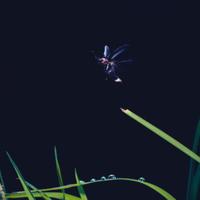 ゲンジボタル 飛翔
