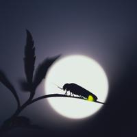 ゲンジボタル 満月を背に光る