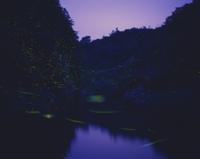 川面を群飛するゲンジボタルの光跡 32223000793| 写真素材・ストックフォト・画像・イラスト素材|アマナイメージズ