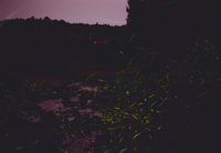 川面を群飛するゲンジボタルの光跡