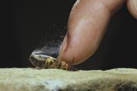 指で押さえられ、ガスを噴射するミイデラゴミムシ