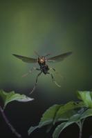 セグロアシナガバチの飛翔