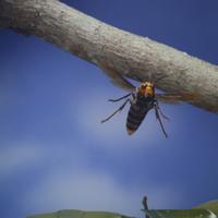 オオスズメバチの飛翔