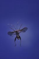 ホソヘリカメムシの飛翔