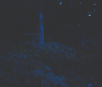 ヒメボタルの群飛