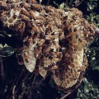 セイヨウミツバチの自然巣