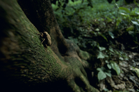 ニイニイゼミの5齢(終齢)幼虫:羽化のため木に登る