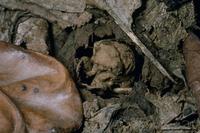 ニイニイゼミの5齢(終齢)幼虫:地上へ出る