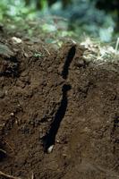 地中のニイニイゼミの4齢幼虫