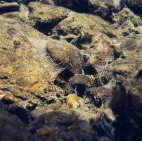 ヒゲナガカワトビケラの巣