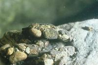 ニンギョウトビケラの幼虫の巣