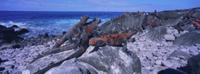 海岸に群れるガラパゴスウミイグアナ(繁殖期・婚姻色)