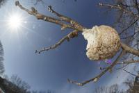冬のオオカマキリの卵鞘