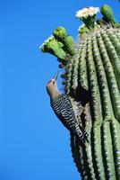 花期のサボテンにつくった巣穴の入り口にとまるサボテンキツツキ