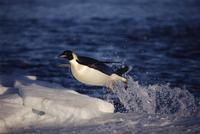 海中から氷の上に跳び上がるコウテイペンギン