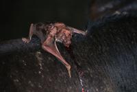 ウシの血を吸うナミチスイコウモリ