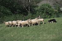 ヒツジの群れを集めるボーダーコリー