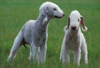 二匹のイヌ(ベドリントンテリア)