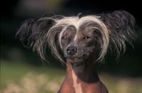 イヌ(チャイニーズ・クレステッド・ドッグ)の顔:毛のない品種