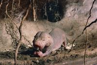 採餌するハダカデバネズミ