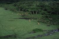 草地を移動するキリンの群れ:空撮