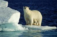 氷の上で母の体の下から顔を覗かせるホッキョクグマの子