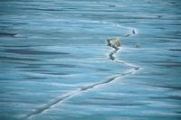 海氷の割れ目を渡るホッキョクグマ(シロクマ)の親子