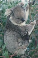 樹上のコアラの母子
