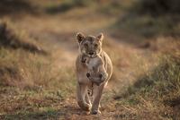 子を口にくわえて運ぶライオンのメス