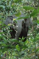 森の中のアジアゾウ(スマトラゾウ) 32236000107| 写真素材・ストックフォト・画像・イラスト素材|アマナイメージズ