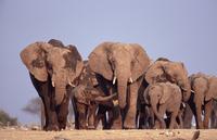 歩くアフリカゾウの群れ